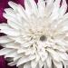 xrizantema2_0.jpg